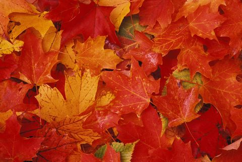 Yellow, Leaf, Red, Orange, Deciduous, Woody plant, Colorfulness, Maple leaf, Annual plant, Still life photography,