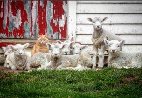 Terrestrial animal, Grey, Rural area, Fur, Wildlife, Herd, Snout, Fawn, Livestock, Sheep,