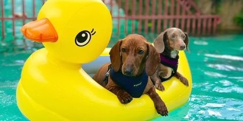 Fun, rubber ducky, Yellow, Vertebrate, Water, Carnivore, Dog, Bath toy, Toy, Ducks, geese and swans,