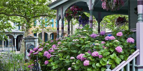 Plant, Shrub, Flower, Garden, Purple, Pink, Petal, Flowering plant, Lavender, Groundcover,
