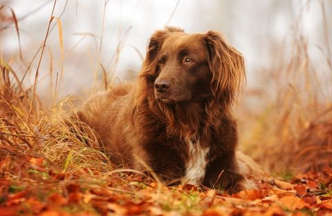 Dog breed, Brown, Dog, Carnivore, Sporting Group, Deciduous, Liver, Grass family, Fawn, Companion dog,