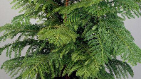 norfolk pine christmas plant