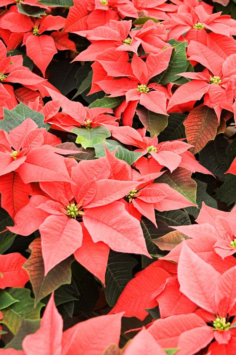 poinsettia red christmas flower