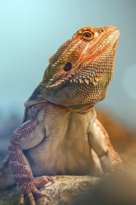 Organism, Skin, Iguania, Reptile, Vertebrate, Scaled reptile, Terrestrial animal, Lizard, Adaptation, Snout,