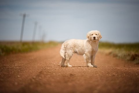 Dog breed, Dog, Carnivore, Mammal, Plain, Companion dog, Working animal, Sporting Group, Snout, Canidae,