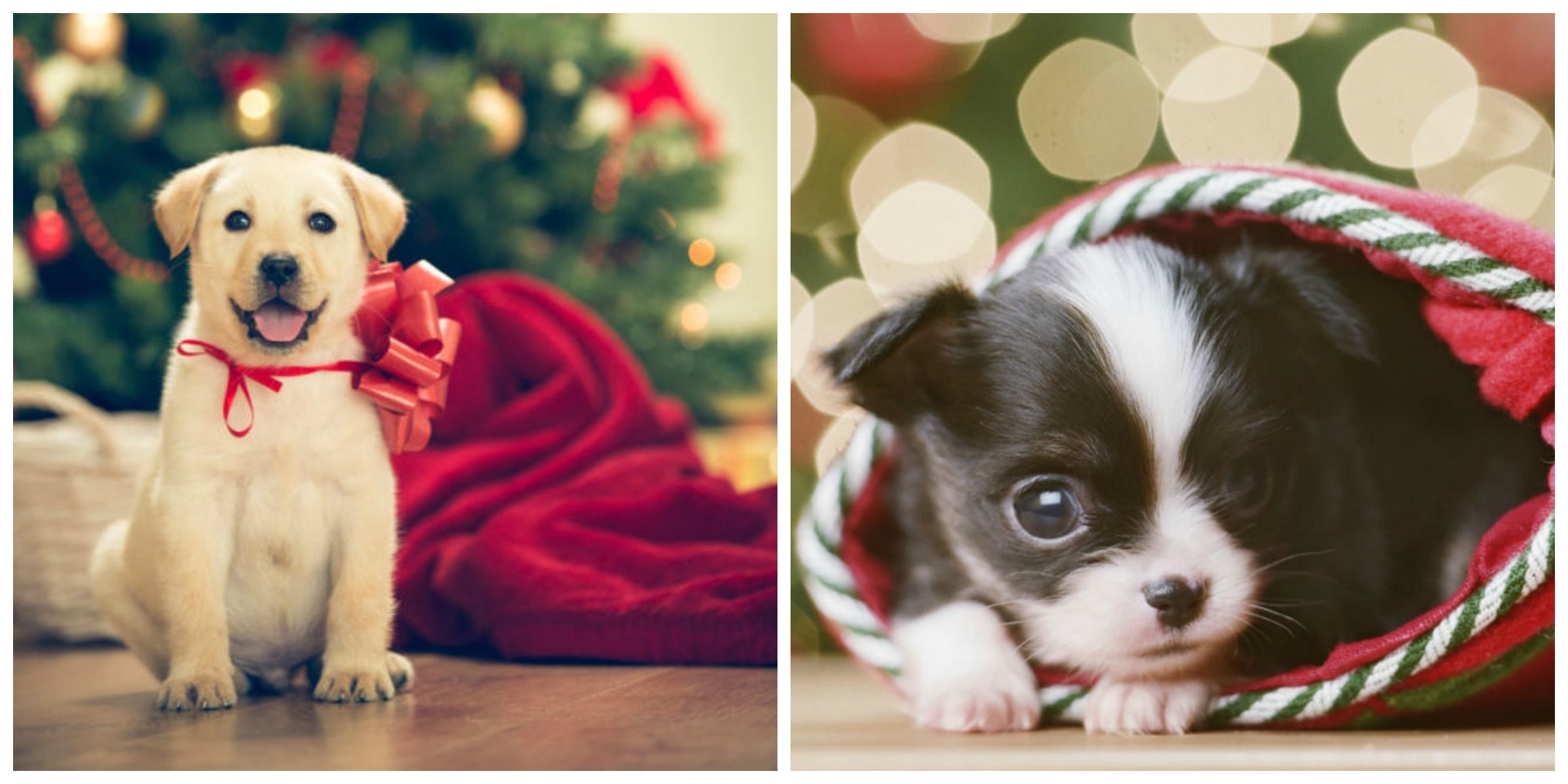 Cute Christmas Puppies Cute Baby Animal Photos