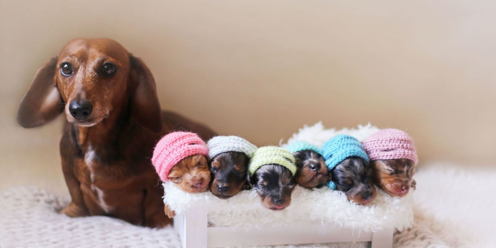 This Adorable Photo Shoot Of Newborn Puppies Will Make Your Heart Melt Dachshund Puppy Photo Shoot