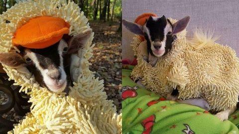 Organism, Vertebrate, Terrestrial animal, Adaptation, Snout, Sheep, Sheep, Fur, Livestock, Snapshot,