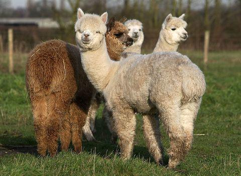 Llama, Nature, Grass, Natural environment, Green, Camelid, Vertebrate, Photograph, Landscape, Terrestrial animal,