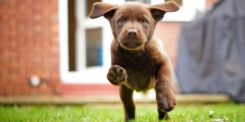 Dog breed, Carnivore, Dog, Sporting Group, Puppy, Liver, Working animal, Companion dog, Snout, Terrestrial animal,