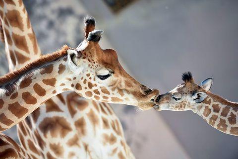 Organism, Nature, Brown, Giraffidae, Natural environment, Giraffe, Vertebrate, Photograph, Joint, Terrestrial animal,
