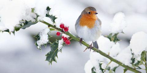 Branch, Winter, Daytime, Twig, Bird, Organism, Freezing, Vertebrate, Beak, European robin,