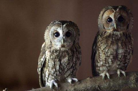 Nature, Owl, Organism, Daytime, Brown, Beak, Bird, Vertebrate, Photograph, Iris,