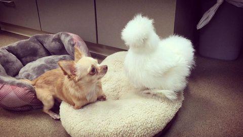 Vertebrate, Carnivore, Dog breed, Dog, Toy dog, Chihuahua, Pet supply, Fur, Companion dog, Canidae,