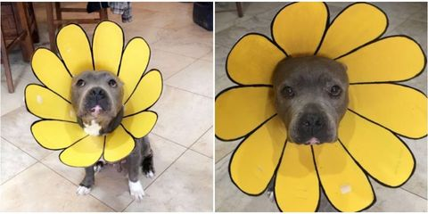 creative mom turns dog s cone of shame into a sunflower