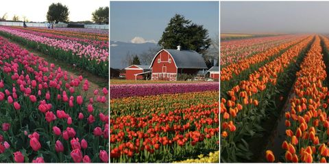 these are the best tulip farms to visit this spring - Tulip Garden Near Me