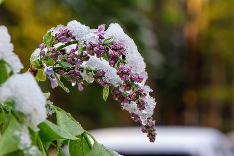 lilacs in winter