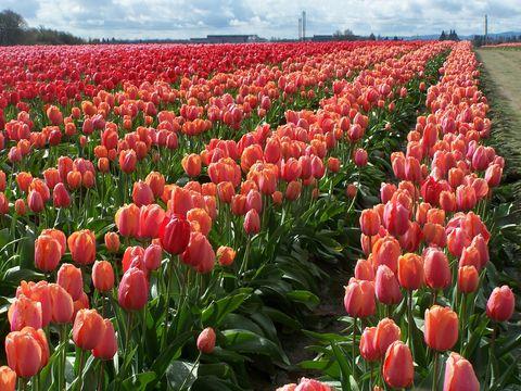 image - Tulip Garden Near Me