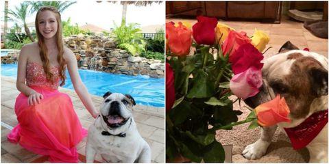 Dog, Petal, Pink, Dress, Carnivore, Dog breed, Rose order, Flowering plant, Rose family, Hybrid tea rose,