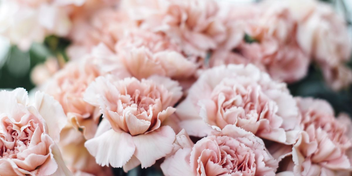 6 Reasons To Bring Back The Carnation Why Carnations Should Make A Comeback