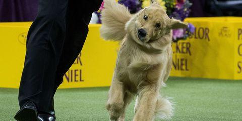 Golden Retriever at Westminster Dog Show