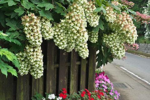 Flower, Flowering plant, Plant, oakleaf hydrangea, Tree, Grapevine family, Vitis, Hydrangea, Vine, Cornales,
