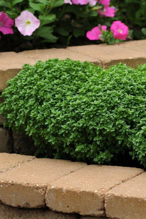 Plant, Flower, Grass, Green, Groundcover, Shrub, Leaf, Flowering plant, Herb, Aubretia,
