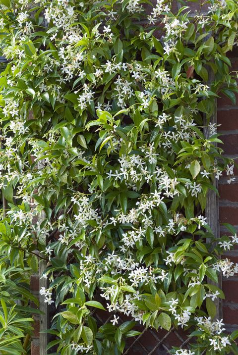 Fast Growing Flowering Vine Star Jasmine