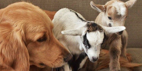 Dog with goat babies