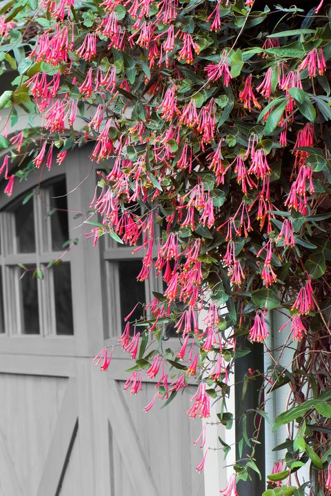12 fast growing flowering vines best wall climbing vines to plant fast growing flowering vine coral honeysuckle mightylinksfo