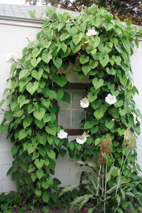 Fast Growing Flowering Vine Moonflower
