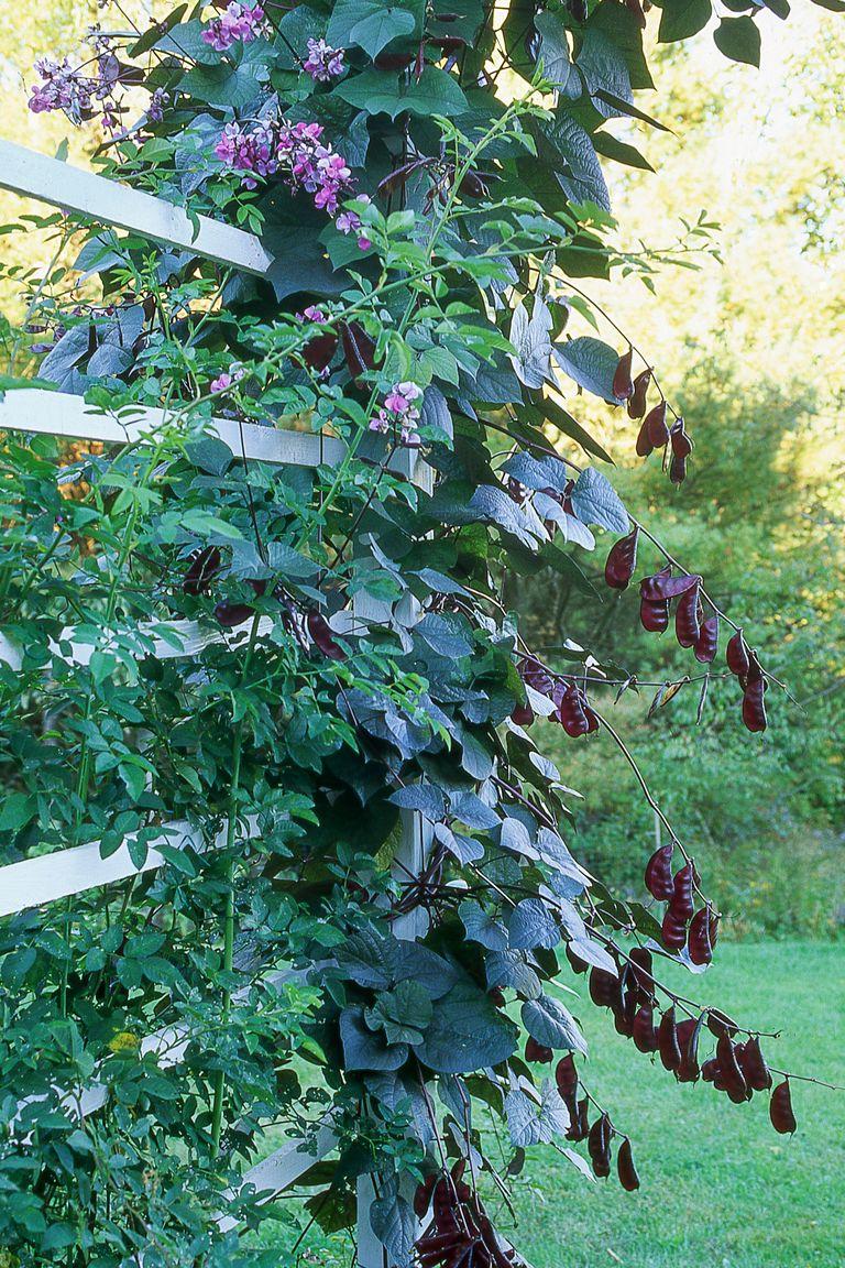 12 Fast Growing Flowering Vines Best Wall Climbing Vines