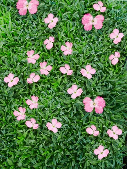 13 best ground cover flowers and plants low growing perennial flowers mightylinksfo