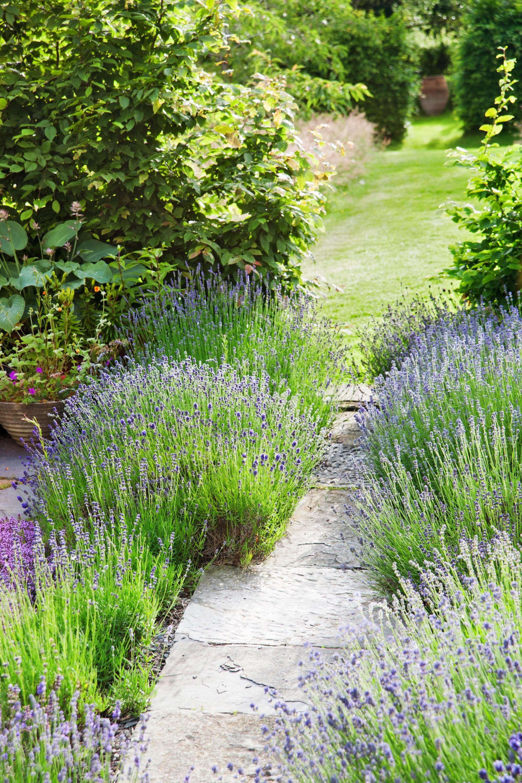 Lavender Landscape Idea