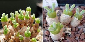 Monilaria obconica succulents