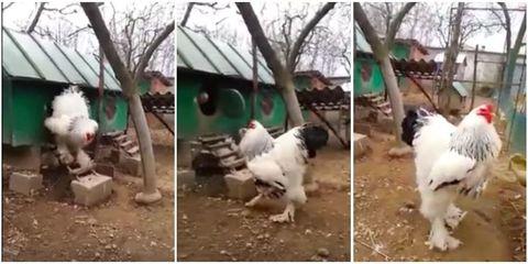 Canidae, Dog, Bucovina shepherd dog, Karakachan dog, Dog breed, Sporting Group, Carnivore, Landseer, Livestock guardian dog,