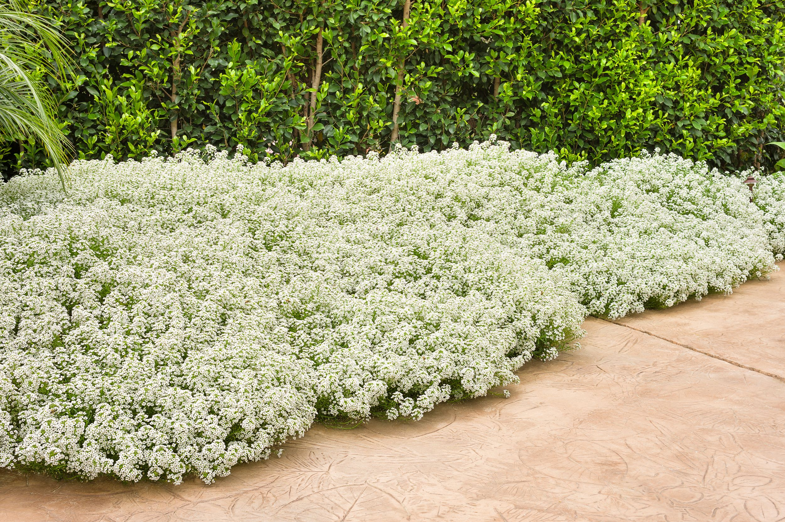 10 most fragrant outdoor flowers best smelling plants for garden