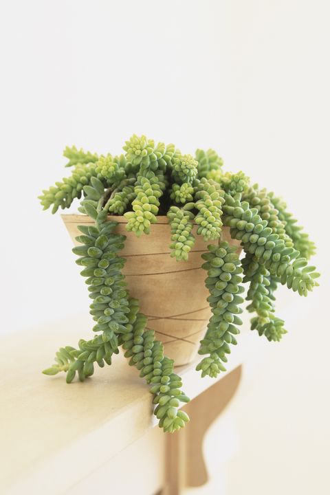 Donkey S Tail Plant