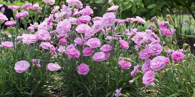 10 most fragrant outdoor flowers best smelling plants for garden mightylinksfo