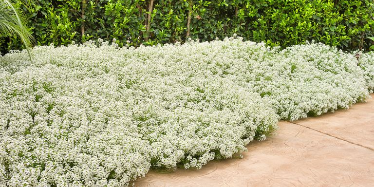 10 Most Fragrant Outdoor Flowers Best Smelling Plants