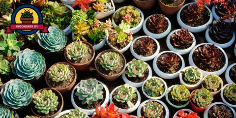 Succulents Are Hugely Por Houseplants But Did You Know There Many Diffe Species In More Than 25 Plant Families Check Out This List Of