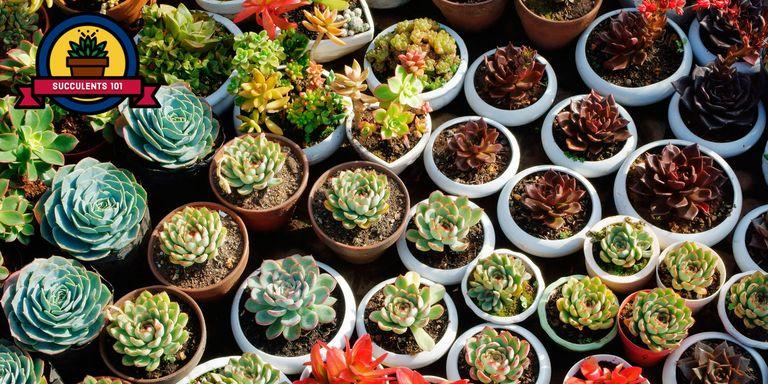 25 Succulent Plant Types - Different Kinds of Succulents List