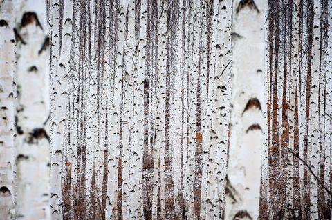 Tree, Canoe birch, Wood, Trunk, Woody plant, Plant, Rust, Birch family, Birch, Metal,