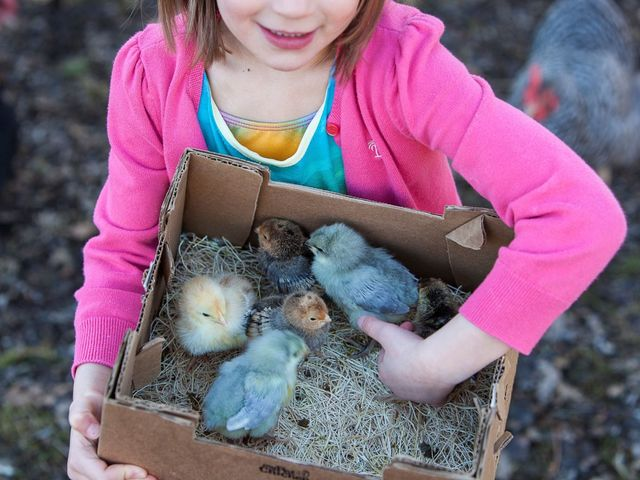 How Baby Chicks Get Shipped Across the Country - Mail-Order