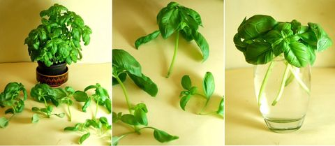 Green, Leaf, Flowerpot, Houseplant, Herb, Plant stem, Annual plant, Herbaceous plant, Transparent material, Herbal,