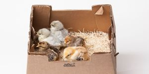 An example of a box used to ship baby chicks across the country.