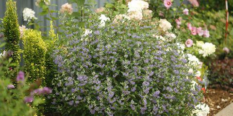 Plant, Shrub, Flower, Garden, Groundcover, Subshrub, Petal, Flowering plant, Annual plant, Wildflower,