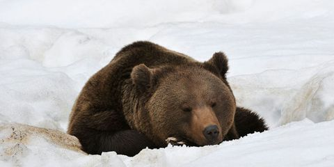 it's legal to kill hibernating bears now
