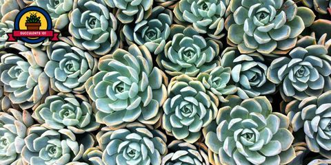 Flower, Echeveria, Plant, Stonecrop family, white mexican rose, Turquoise, Pattern, Succulent plant, Saxifragales, Perennial plant,