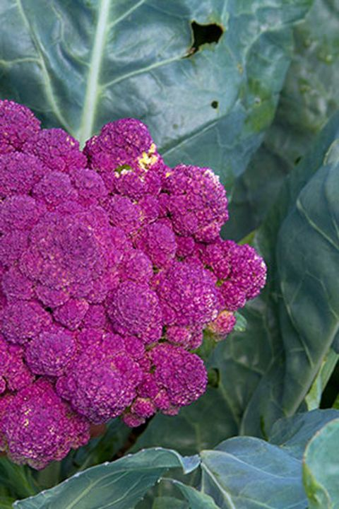 Flower, Plant, Purple, Cruciferous vegetables, Flowering plant, Leaf vegetable, Pink, cockscomb, Annual plant, Petal,